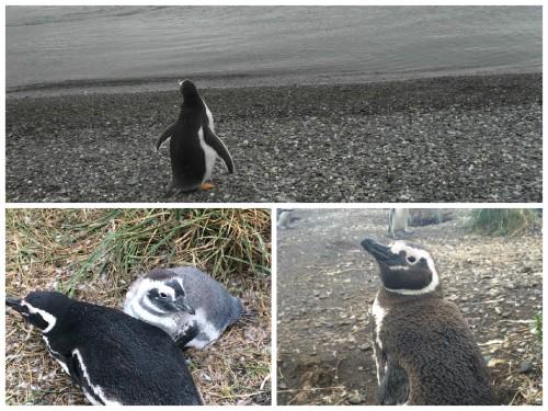11_explorasp_pinguinera